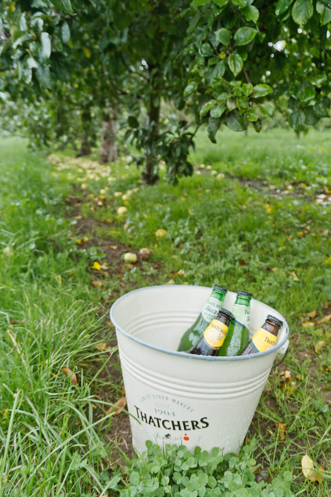 Join a Behind-The-Scenes Thatchers Cider Tour in England || The Travel Tester || #Cider #Thatchers #Orchard #England #Somerset #MyrtleFarm #UnitedKingdom #UK